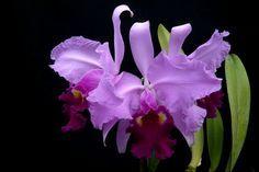 """Lc. Carlos Arango """"Hawaiian Beauty"""".  Purchased from Carib Orchids 2/16."""