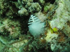 Here is the Christmas Tree Worm for today.     If you move your hand over this - it will disappear down its hidy-hole in an instant. No, we're not guaranteeing that it will happen on your computer screen.     Hey, we could do that with a mouse-over. We wish we had time to try it. First we'd have to have the exact same shot with the worms retracted. Never mind. We didn't think of that whilst we were under the water. ;)