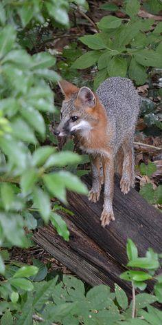 Eastern Gray Fox (Urocyon cinereoargenteus cinereoargenteus)