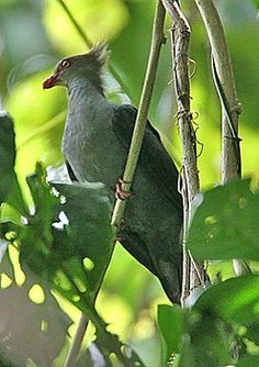 ... and the strange-looking Crested Cuckoo-Dove (Brian Field)