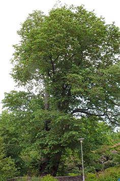 Vuorijalava, Ulmus glabra - Puut ja pensaat - LuontoPortti