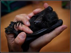 That's a big hug in the palm of your hand.  Why are bats so cute?