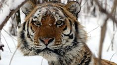 Siberian tigers are the largest of the big cats and can reach over 3 metres long, from nose to tail. They have adapted to life in frozen landscapes, thousands of miles away from their cousins in India, China and Indonesia.