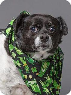 Methuen, MA - Rat Terrier Mix. Meet HANNAH, a dog for adoption. http://www.adoptapet.com/pet/17601008-methuen-massachusetts-rat-terrier-mix