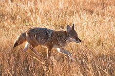 A wolf in Nebraska