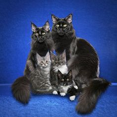 A black Maine Coon family.