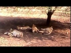 Exclusive Videos Of Asiatic Lion With Family - YouTube