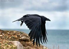 Big ass Blackbird is it A Crow or A Raven? Raven Wings, Raven Bird, Bird Wings, Pretty Birds, Beautiful Birds, Black Bird Tattoo, Tattoo Bird, Corvo Tattoo, Crow Flying