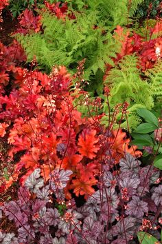 More amazing color....wow!  Heuchera mixed with ferns.  The fact that heuchera is an evergreen is just so appealing for year round color!