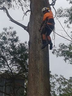 Balgowlah crew have been trained and are equipped with the necessary and appropriate tools and equipment deemed necessary for cutting, stump grinding and removing trees in a skilled, efficient and professional manner. Tree Cutting Service, Tree Trimming Service, Tree Removal Service, Tree Loppers, Stump Grinder, Stump Removal, Tree Felling, Tree Pruning, Old Trees