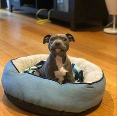 American Pitbull – All You Want to Know About This Breed – Pets and Animals Cute Dogs And Puppies, Baby Dogs, I Love Dogs, Doggies, Cute Pitbull Puppies, Baby Pitbulls, Pit Bull Puppies, Blue Staffy Puppy, Pomeranian Puppy