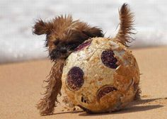 Dog playing soccer on the beach - Chien jouant au football sur la plage