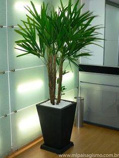 A mais conhecida das plantas de interior é a essa, fácil de cuidar, não gosta de sol, mas gosta de luz, vento nem pensar! Essa é a Palmeira Rafia (Rhapis excelsa) Preço por aste: $