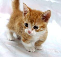 adorable Munchkin kitten.  ♥♥♥