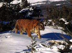 The biggest tigers - Ussuri. Height them up to 115 cm, the maximum length of the body - more than 3 meters, the maximum weight - 280 kg.