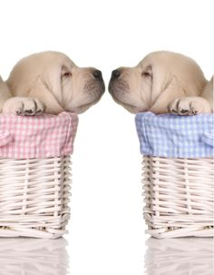Puppy love, sleeping puppies in pink and blue baskets