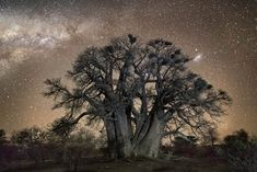 Ancient Trees II – Beautiful night photographs of the oldest trees around the world (image)