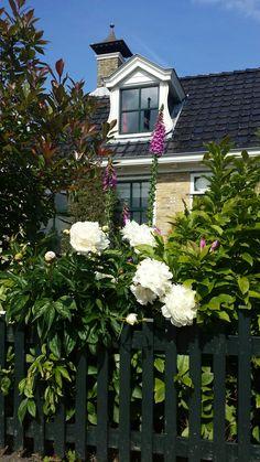 Prachtige pioenroos  in een tuin in Grou.