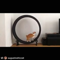 And here's Little K getting his morning exercise. The wheel has become his favorite thing! He rides it every morning and early evening when he gets his energy bursts. This is the best possible investment for cats who were indoor/outdoor being changed to indoor only. So grateful!!! ❤️❤️❤️ #catwheel #indooronlycats #onefastcat #catmom @one_fast_cat