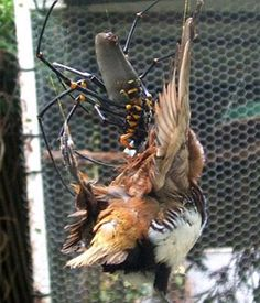 Tarantula eating bird - photo#8