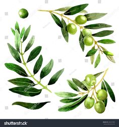 Olive tree in a watercolor style isolated. Full name of the plant: Branches of an olive tree. Aquarelle olive tree for background, texture, wrapper pattern, frame or border.