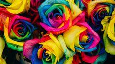 Ruže u duginim bojama su pravi hit u cvetu, a ako želite da ih imate u svojoj bašti. postoji tajni recept...      Za dobijanje ruža dugini...
