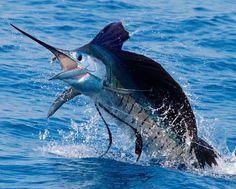 """Marlin jumping outta the water & saying, """"Whaaaaa??"""""""