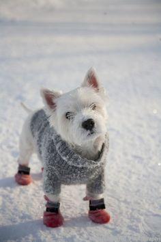 Westie in his sweater vesty. Love the little doggie booties!!