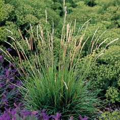 Sesleria autumnalis This cool-season grass begins the season with bright green blades. In late summer and early fall, it produces silvery inflorescences which complement its golden-hued autumn foliage and persist throughout the winter.and cold hardy. These European, mountain-loving grasses are useful as tidy groundcovers en masse or in small groups, planted in rock gardens or as perennial edgers. They grow to about a foot tall and wide, with flower spikes to 18 inches.