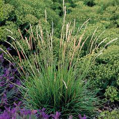 Sesleria autumnalis (Blauwgras), groenblijvende pol, hele jaar decoratief, lichtgroene naar blauwgrijs verkleurende bladeren
