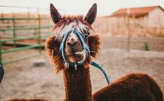 Photo by Kimmy Williams on Unsplash Llama Images, Llama Pictures, Animals Images, Best Funny Pictures, Animal Pictures, Llamas, Facebook Humor, 4 Photos, Mammals