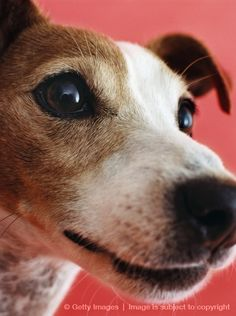 Image detail for -Jack the Jack Russell Terrier | Puppies | Daily Puppy