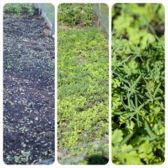 Time to plant a green manure crop to protect bare soil over winter.