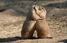 These prairie dogs that still kiss goodbye every morning. The 25 Most Romantic Animals That Ever Lived Romantic Animals, Animals Beautiful, Cute Animals Kissing, Funny Animals, Wild Animals, Adorable Animals, Endangered Species, Science And Nature, Funny Cute