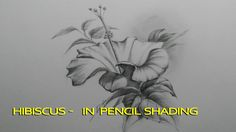 Hibiscus - in pencil shading - step by step smudging