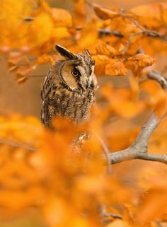 Owl Hidden In Autumn Leaves