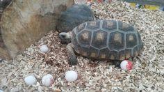 Schildpadden Ribbel en Rabbel met 5 eieren.
