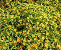 Melampodium: heat-tolerant annual, reseeds readily. Blooms from late spring to early fall.  Plant in average soil.  Shown: compact cultivar M.'Million Gold'.  HGTV