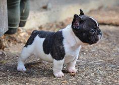 Bouledogue français. Trop mignon ce mini modèle :-) Mini French Bulldog Puppy.