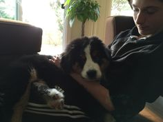 Bernese Mountain Puppy, Mountain Dogs, Puppies, Animals, Cubs, Animales, Animaux, Animal, Animais