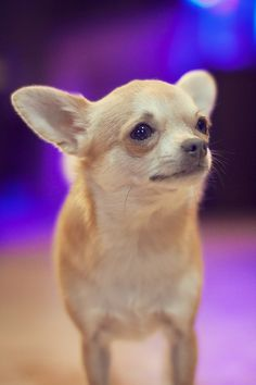 lil chihuahua, what does my baby boy want?  huh