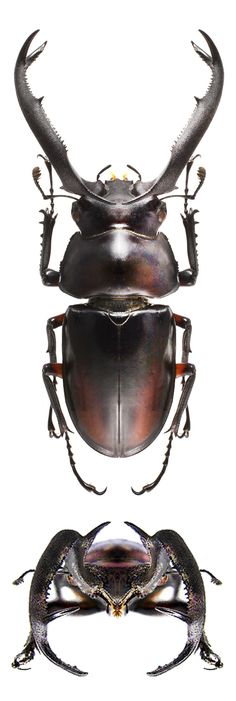 Rhaetulus didieri Cool Insects, Types Of Insects, Bugs And Insects, Beetle Insect, Beetle Bug, Insect Art, Spider Species, Insect Orders, Insect Photos