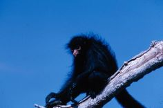 Black spider monkey sitting in tree. 1965. W. & G. Garst Photographic Collection, University Archive, Archives and Special Collections, CSU, Fort Collins, CO
