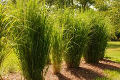 """The Perennial Plant Association just named an ornamental grass as plant of the year 2014… Panicum """"Northwind"""". We are big fans of grasses, a..."""