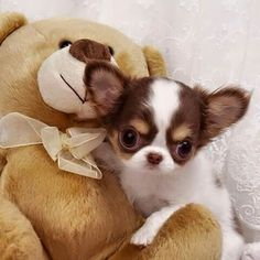 The Chihuahua is basically a dog's breed. The reason of attraction of Chihuahua is his small size, coat varieties and colors. Chihuahua memes are famous because of his funny face and expressions. Chihuahua Miniature, Le Chihuahua, Teacup Chihuahua Puppies, Cute Puppies, Cute Dogs, Dogs And Puppies, Doggies, Little Dogs, Cute Baby Animals