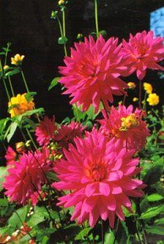 Dahlia flowers love it