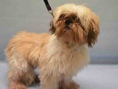 **SENIOR** - Super Urgent Manhattan - MOON - #A1098617 - MALE TAN/WHITE SHIH TZU MIX, 10 Yrs - STRAY - ONHOLDHERE, HOLD FOR ID Reason MOVE2PRIVA - Intake 12/03/16 Due Out 12/06/16 - UNKEMPT & SOME MATTING, ALLOWS HANDLING BUT NERVOUS AND WILL SHY AWAY - CAME IN WITH SUNNY #A1098618