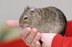 Your Quick Guide to Keeping Degus as Pets