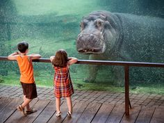 Two children at the Bioparc in Valencia, Spain, see an underwater hippopotamus staring back at them from behind the glass