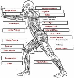 http://www.biologycorner.com/anatomy/muscles/muscles_labeling/muscles_overall_label_key.jpg